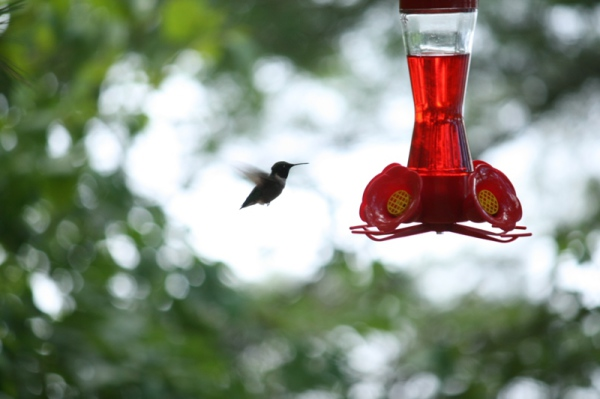 Hummingbirds are regular visitors