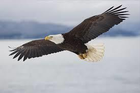 Bald Eagles have nests around the lake